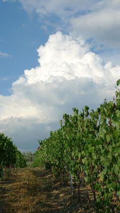 Our Sangiovese Chianti vineyard.