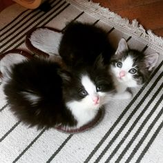 kittens in slippers