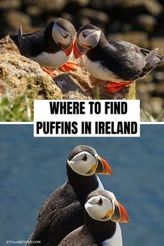 The Puffin is a funky cross between a colourful toucan and a penguin and who couldn't love that? The Atlantic Puffins in Ireland are a member of the auk family. These colourful birds are on everyone's must see list then they visit Ireland. They can be found in 9 locations mainly on the Wild Atlantic Way, Rathlin Island Northern Ireland and the Gobbins. #puffins #Ireland #visitIreland #travel #travelIreland #findingpuffins #puffinsIreland #thegobbins #rathlinIsland #NorthernIreland #...