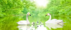 Swan family the morning sun on the river