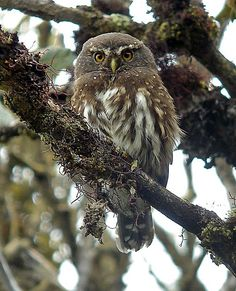 Andean Pygmy-Owl, Colombia