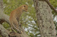 What's he looking at? 🐆 📷: @moosavarachia09 on Instagram #leopard #bigfive #safari #wildlifephotography #KrugerPark