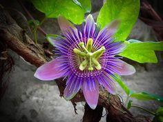 Die grossen Blüten der Passionsblume sind wunderschön anzusehen und es gibt sie in vielen verschiedenen Arten. Flowers, Plants, Passion Flower, Garden Plants, Acupuncture, Nice Asses, Flora, Royal Icing Flowers, Floral