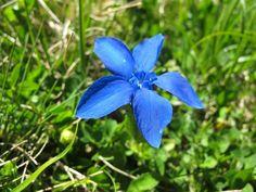 Genellikle 10 cm kadar boylanabilen, çok yıllık, otsu bir türdür. Yapraklar tabanda  sıkışık rozet diziliminde, üstte gövde üzerinde sadece 2-3 çift; eliptik-yumurtamsı formda; genellikle uzunluk genişliğin 2¼(-2½) katı, ~20x8 mm boyutlarda; küt uçlu; genellikle kenarlar hafif kabarcıklıdır. Çiçeklenme dönemi Mayıs-Temmuz ayları arasında; çiçekler tekil, 5 parçalı; çanak 12-22 mm, 1/3`ünden bölünmüş; taç yapraklar (38-)40-46 mm boyutlarda; derin mavi renkte, merkez kısmı beyaz, lobl...