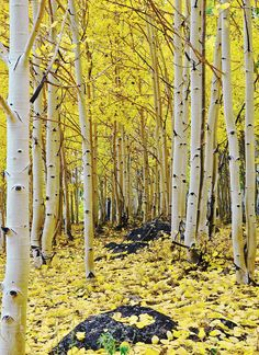 ✮ Aspens in Autumn