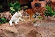 Tigers, Loro Parque, Tenerife, Canary Islands, 2007. Loro Parque is a zoo located on the outskirts of Puerto de la Cruz.