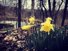 The sun might not be shining but the daffodils are brightening our day with their happy yellow faces! #onthetrailstuesday @Blackacre1844