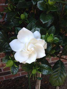 317 Best Gardenias and Magnolias images in 2019  41cc8b313e18f