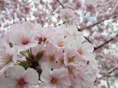 Cherry Blossoms 13 by zaphotonista.deviantart.com on @deviantART