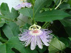 Missouri passion flower