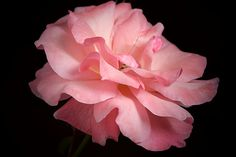 Rose by Camelia C 1 Rose, Black Backgrounds, Wall Art, Abstract, Friends, Floral, Flowers, Plants, Pink