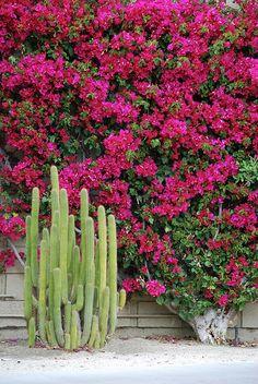 Cactus + Bougainvillier