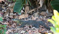 Our resident Monitor Lizard - blocking my path to pick bananas Monitor Lizard, Planet Earth, Bananas, Whole Food Recipes, Paths, Easy Meals, Backyard, Wellness, Health