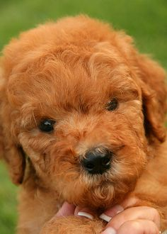 The English Goldendoodle - Doodle Nursery  Just what you need.