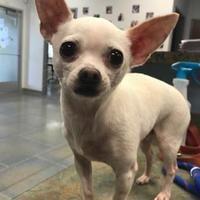 Fort Dodge, IA - Chihuahua. Meet Bentley a Dog for Adoption.
