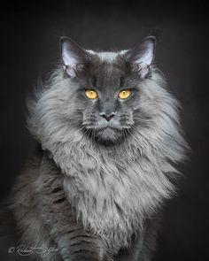 Mýtická bestie: Fotograf zachycuje majestátní krásu mainské mývalí kočky…
