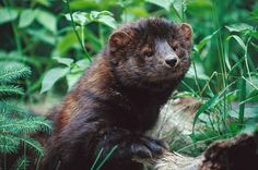 A fisher - Martes pennanti, a type of North American weasel, closely related but larger than the American marten, It is a forest-dwelling animal whose range covers much of the boreal forest in Canada to the northern fringes of the U.S.