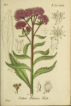 Sedum Fabaria. Plate from 'Deutschlands Flora in Abbildungen Nach der Natur' by Jacob Sturm(1798). Harvard Botany Libraries archive.org