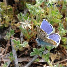 Interesting Facts About Butterflies ~ Spring Azure