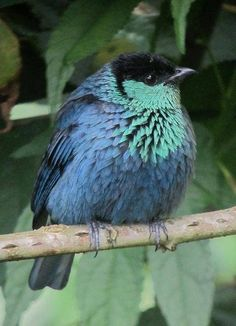 The Black-capped Tanager (Tangara heinei) is a species of bird in the Thraupidae family. It is found in Colombia, Ecuador, Peru, and Venezuela.