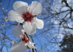 Between mid-Feb & mid-March, tree buds burst into beautiful white & pink blooms. Most are not so orchards are grown with multiple varieties, & bring hives of to orchards to provide the missing piece of the puzzle. Orchards, Missing Piece, Bee Keeping, Bud, Almond, Puzzle, March, Bloom, Plants