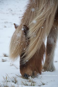 Icelandic horse nibbling grass in the snow. Horses In Snow, Cute Horses, Pretty Horses, Wild Horses, Beautiful Horses, Animals Beautiful, Horse Photos, Horse Pictures, Zebras