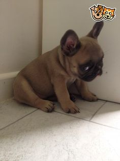 """I didn't do nothin'"", embarrassed French Bulldog Puppy"