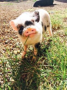 And this little grass nibbler who makes me want to nibble on some grass; it's THAT cute. | 31 Very Important Pigs Are Here To Melt Your Heart