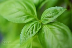 Ocimum basilicum or Basil herb is one of the most recognized, nutritionally rich herbal plants commonly grown as potherb.