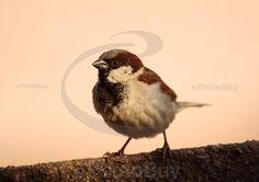 Closeup of Male sparrow stock photo