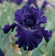 Hollywood Nights   Tall Bearded Bloom Season: Midseason Fragrant: Yes Rebloom: No Intense deep purplish black color completely saturates the heavily ruffled and laced petals of this wildly popular child of Dykes Medalist Dusky Challenger. A small white spray pattern surrounding the beards adds focus, as demonstrated in our photo. As a bonus, Hollywood Nights has a seductively sweet aroma.