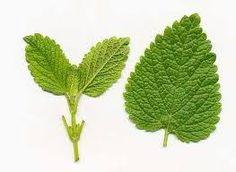 Herbal Remedies For Hyperthyroidism - Natural Treatments & Cure For Hyperthyroidism Natural Herbs, Natural Healing, Healing Herbs, Herbal Remedies, Natural Remedies, Herbs For Sleep, Herbs List, Chamomile Tea, Thyroid Health