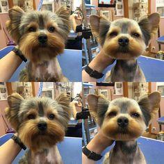 -repinned- Before & after Yorkie grooming