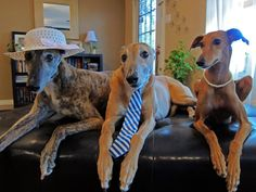 Easter Greyhounds