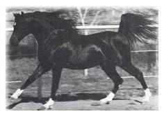 Cass Ole (The Black Stallion) showing his white fetlocks.