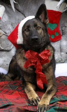 PetsLady's Pick: Cute Christmas German Shepherd Of The Day...see more at PetsLady.com -The FUN site for Animal Lovers