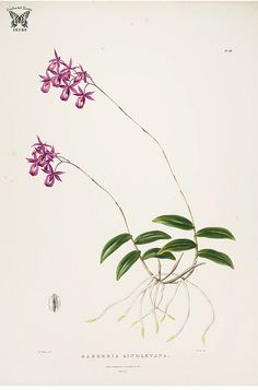 Lindley's Barkeria. Barkeria lindleyana. The Orchidaceae of Mexico and Guatemala (1837-1843) [Mrs. Withers]