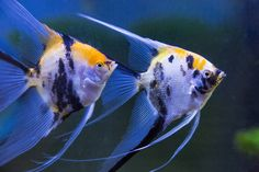 Pair Koi Veil Angelfish, Photography by Darrell Gulin Tropical Freshwater Fish, Tropical Fish Aquarium, Fish Aquariums, Freshwater Aquarium Fish, Beautiful Tropical Fish, Aquarium Shop, Aquarium Supplies, Fish For Sale, Siamese Fighting Fish