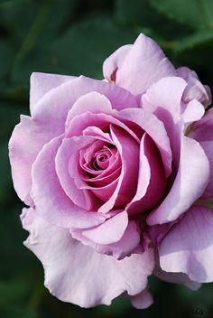Hybrid Tea Rose: Rosa 'Secret Perfume' (U.S., 2009)