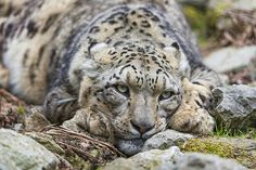 Lazy, tired and bored Villy by Tambako the Jaguar on Flickr.