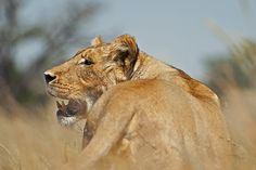Female Lion in the grass in the Kgalagadi Transfrontier Park, Kalahari Desert, South Africa: Photographed by Shane Saunders  (Cape Town, RSA)