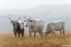 Vacche al pascolo - Cows grazing © Pietro D'Antonio