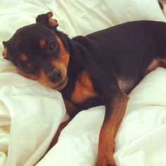 cute little min pin laying in bed, just like usual =D