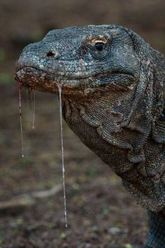 The saliva of the komodo dragon . It is filled with bacteria, because these animals love to eat dead animals. To be able to swallow , it produces a lot of saliva. They eat a lot. A meal can have...