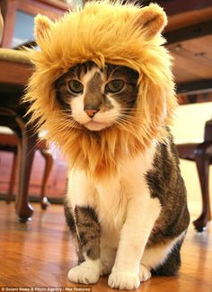 Me-ow do I look? Pet owners can now turn their cat into the king of the jungle by giving it a hat with a golden brown lions mane