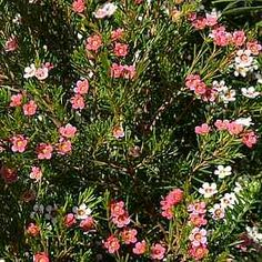 Chamelaucium 'My Sweet Sixteen'atSan Marcos Growers. Bicolored Waxflower, 4-6 ft x 4-6 ft, Spring blooming, full Sun, drought tolerant.