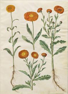 Calendula officinalis, KKSgb2950/27