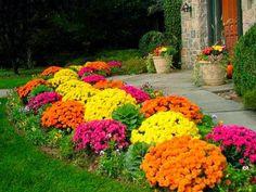 Um jardim para cuidar: Não há outono sem crisantemos..