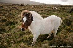 Baby Shetland pony in the farthest north of the farthest north island of Shetland & the British Isles. There are no people around regularly, and the animals just roam free in peace. #shetland #photography #horse #pony www.ofthecoast.ca