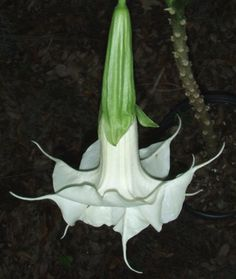 A new Sommer Gardens angel trumpet - Brugmansia 'White Magic'